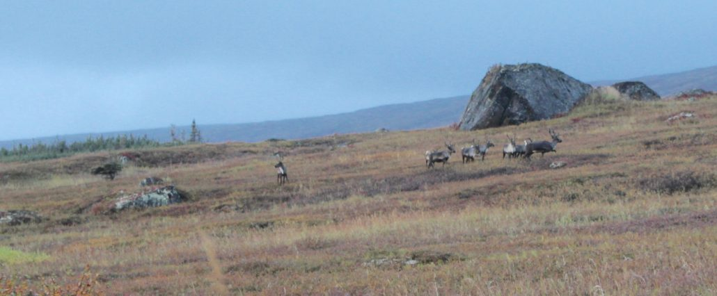caribou, wildlife, national geographic, tundra, taiga, alaska, wilderness
